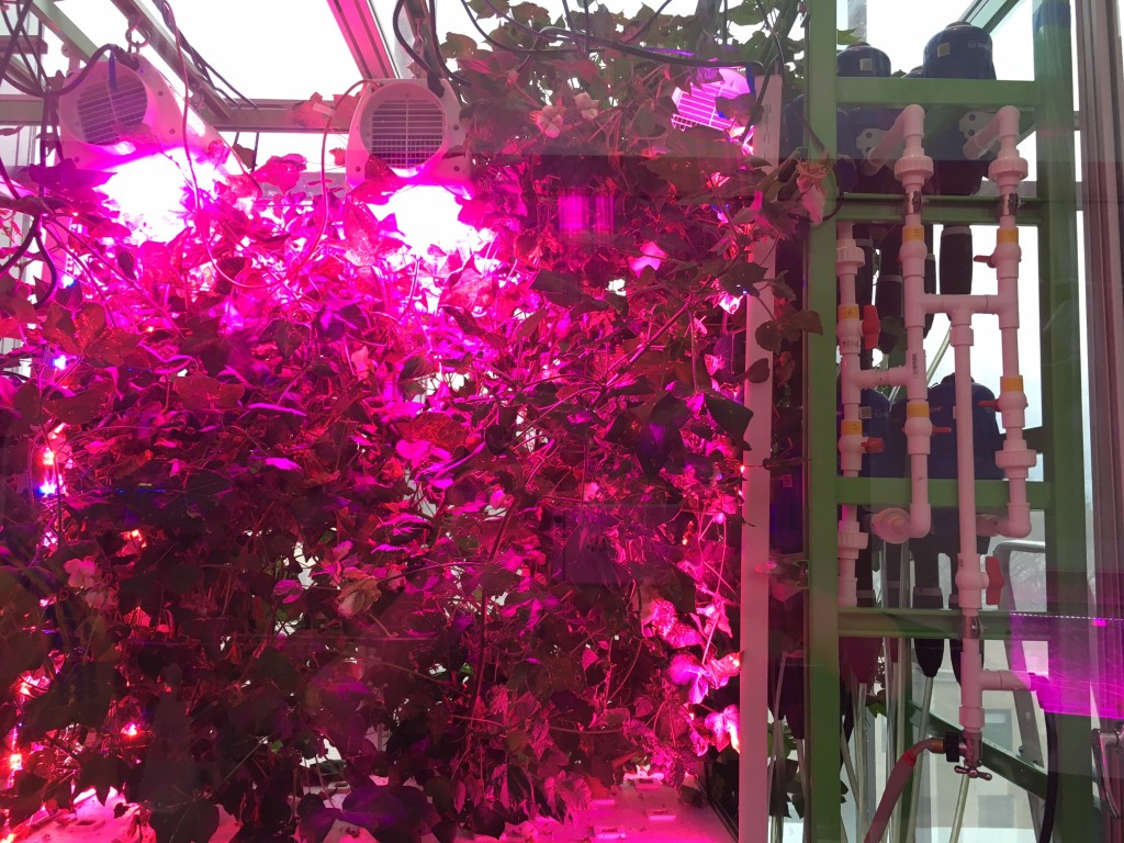 aeroponic cotton plants at MIT